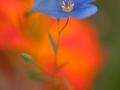Fleur de lin sur fond de capucine