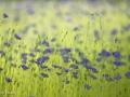 Rencontre avec une petite fleur bleue